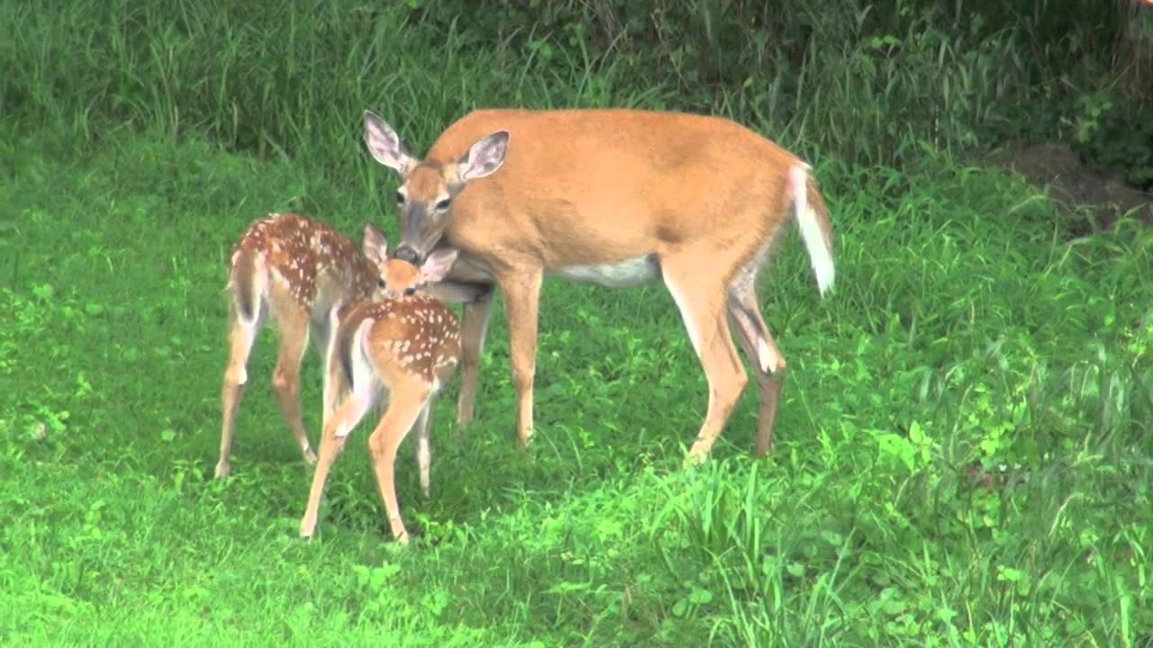 Twin Baby Deer with Mother Jul 2013 - YouTube