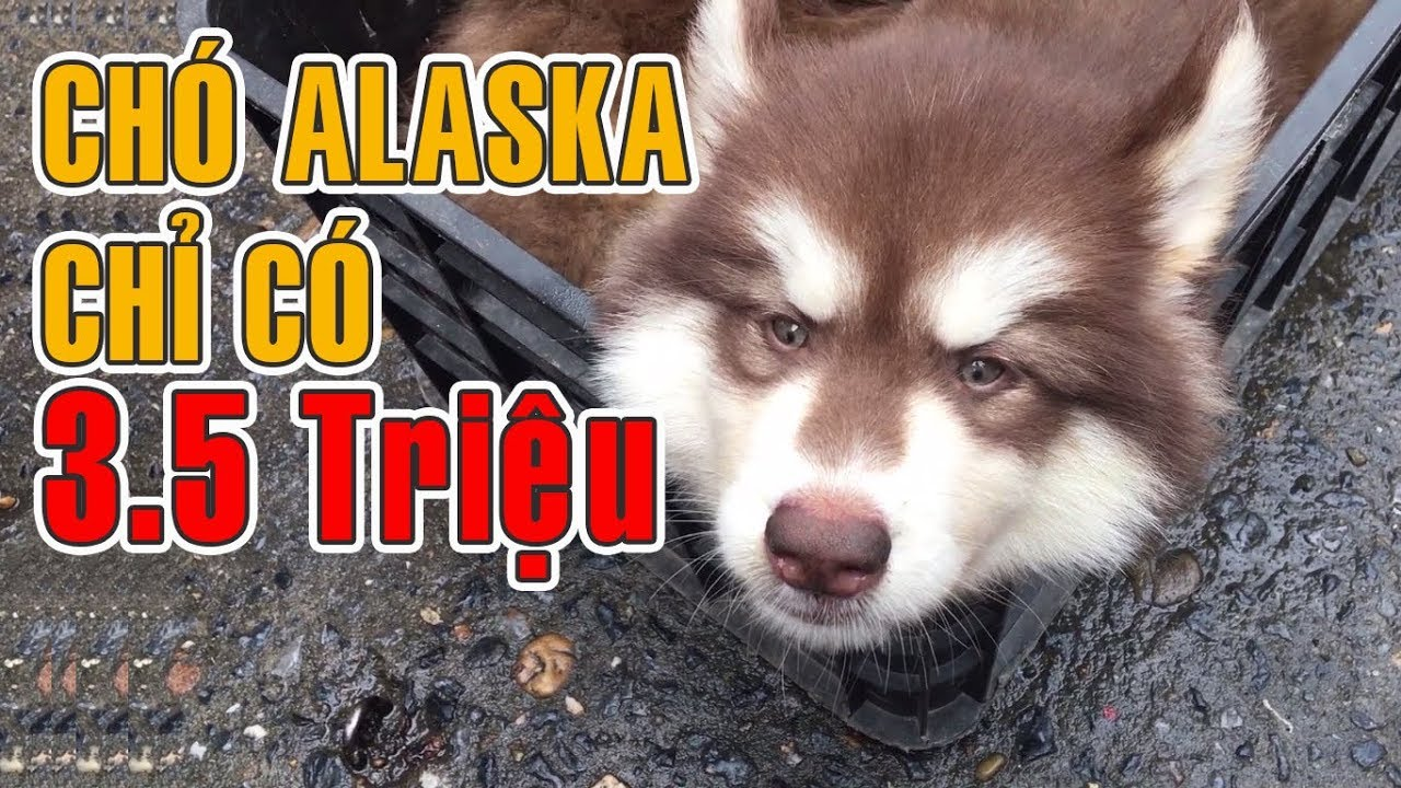 Không thể tin chó Alaska giống Mật Pet Family lại chỉ có 3tr500 ở chợ thú cưng