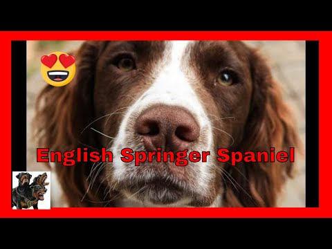 English Springer Spaniel cerberusk9uk