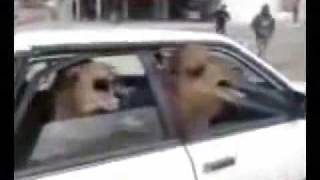 Two Angry Camels in a Tiny Car