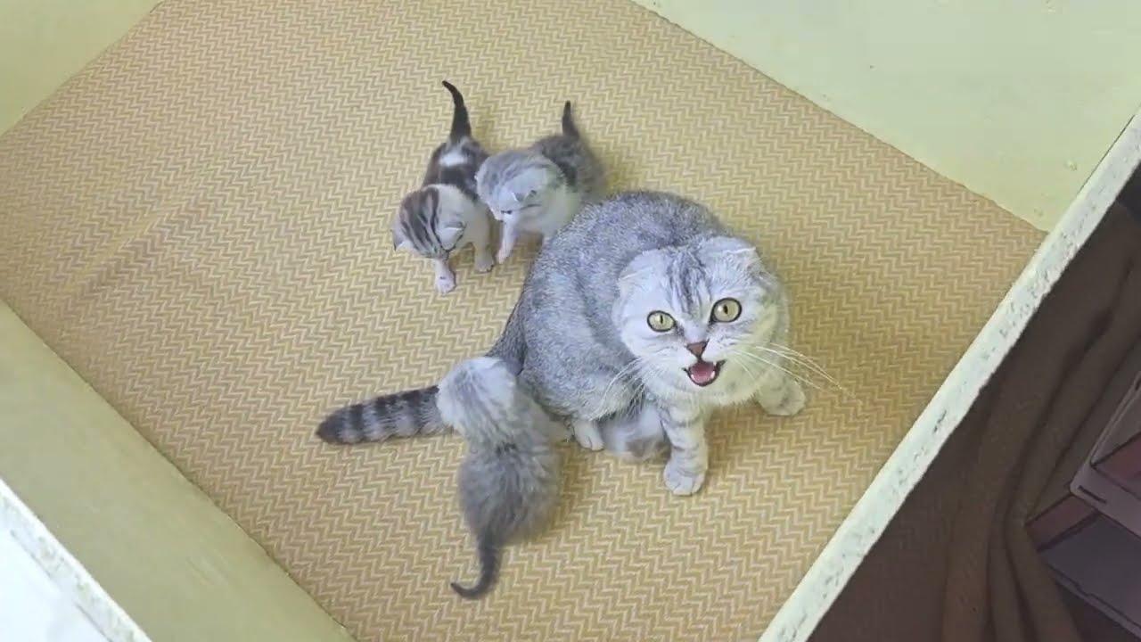 Мама кошка напала и избила папу кота и не пускает больше к его котятам 😭