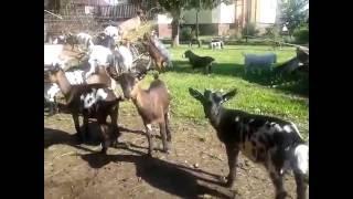 Anglonubijská (AN) a Koza zakrslá (ZH)– holandského typu