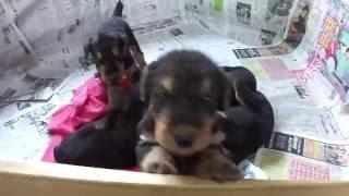 子犬が生まれていますよ http://www.woof.jp/at.html 2016年7月27日に生...