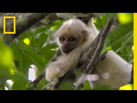 Exclusive: Rare Ghost Monkeys Filmed in Colombia | National Geographic