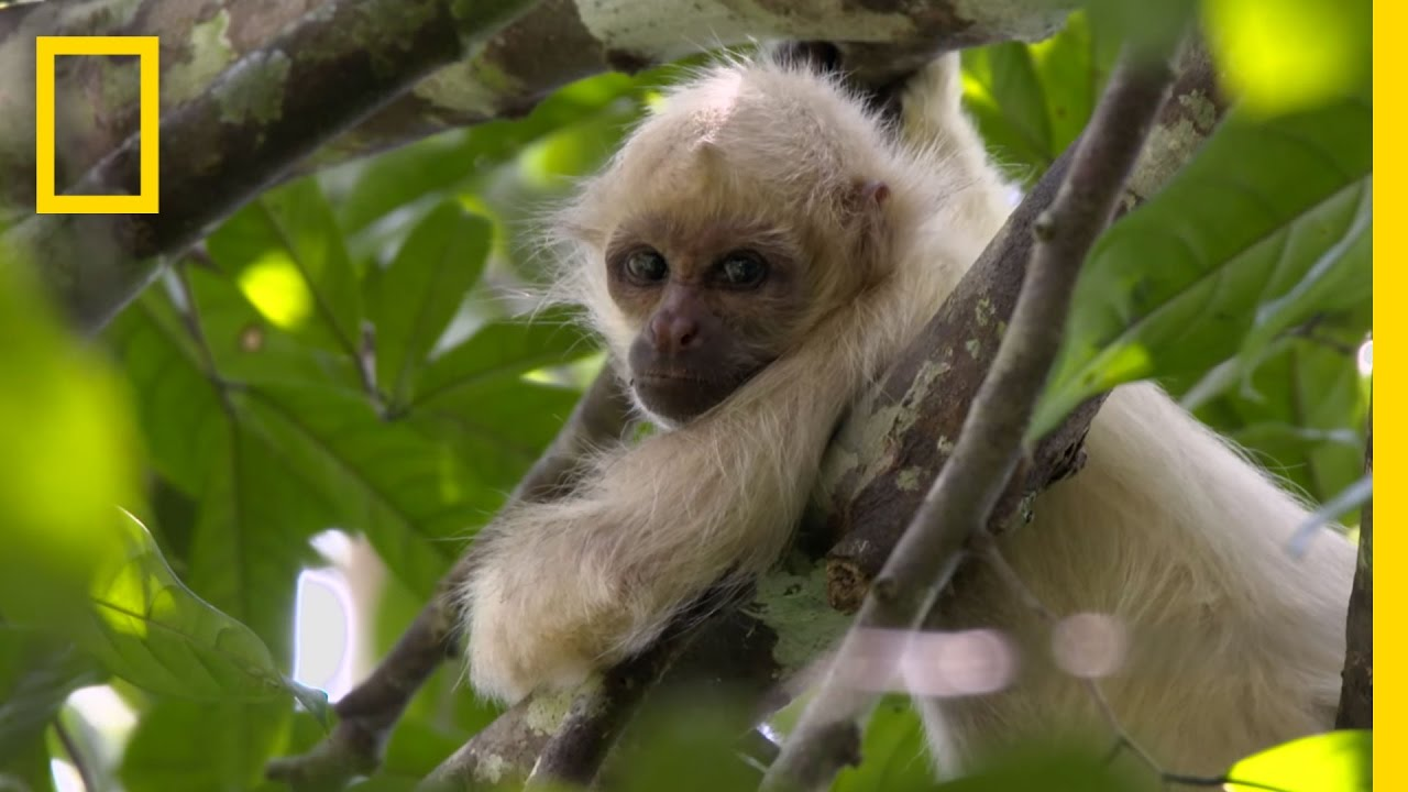 exclusive rare ghost monkeys filmed in colombia national