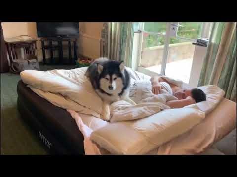 Alaskan malamute alarm clock