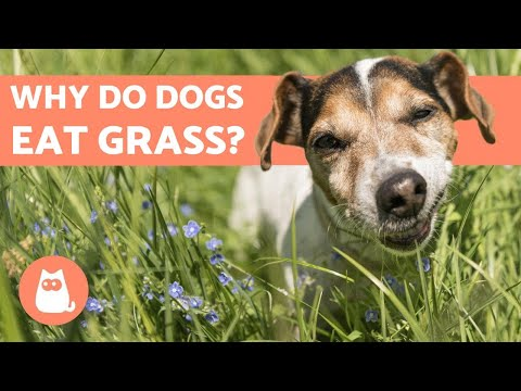 Why Do Dogs Eat Grass? 🐶 Is It SAFE?