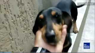 Dachshund Walks Backwards Across a Wall (VERY Cute)