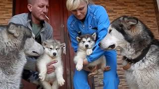 Аляскинский Маламут. Щенки 2 месяца.Alaskan Malamute . Puppies 2 month. Odessa.