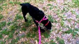 Bonnie A Florida Poodle Rescue Foster Dog