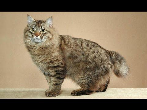 Bobtail Americano de Pelo Largo / Raza de Gato