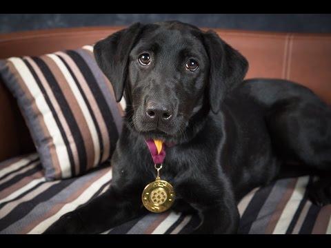 Holly - Labrador Puppy - 4 Weeks Residential Dog Training