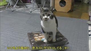 新しいホカホカクッションより断然ビニール袋が大好きな猫リキちゃん☆今日も後ろ足ケリケリが絶好調!【リキちゃんねる 猫動画】Cat videos キジトラ猫との暮らし