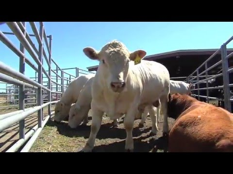 Bull Evaluation Center Helps Raise Quality Of Georgia Beef Cattle Industry