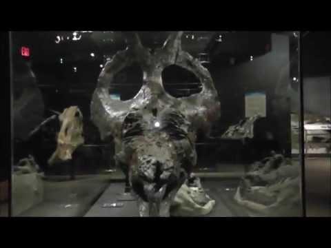 Adult Achelousaurus Skull, Museum of the Rockies, Bozeman, Montana