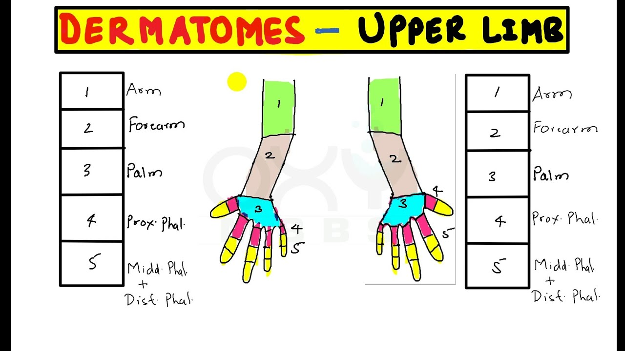 Trick To Remember Permanently Dermatomes Of Upper Limb Youtube