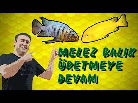 DÜNYA'NIN EN NADİR AKVARYUM BALIĞI (En İlginç Melez Akvaryum Balığı)(Fainzilberi Msobo Bbr Lundo)