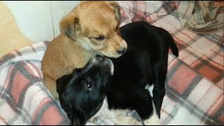 The black puppy takes care of the new guest