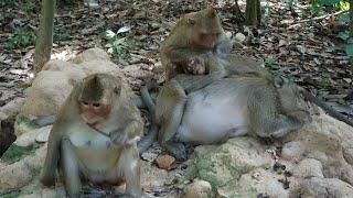 monkeys angkor