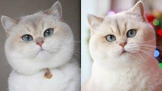 British Shorthair Cat Breed # 7
