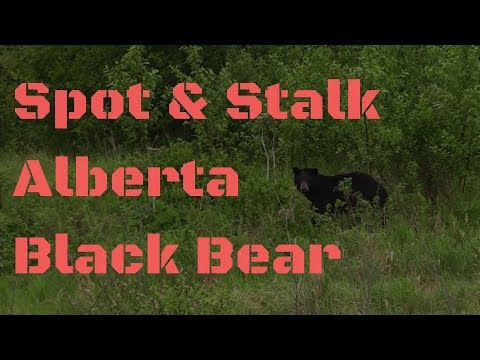 Spot & Stalk Alberta Black Bear Hunting