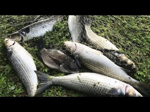 Cast Net Fishing For Mullet and Tilapia!