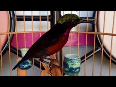 Cara Memancing Burung Kolibri Ninja  yang malaes bunyi agar racin gacor dan ngplong Mp3