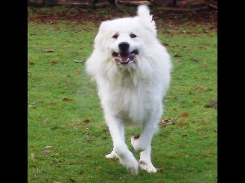 Pyrenean Mountain Dog Yogi.