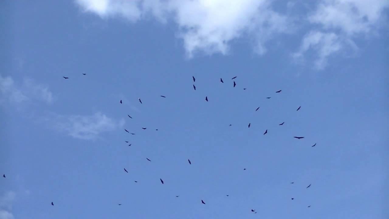 Bando de Urubus Voando em Círculo - YouTube
