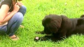 大型犬 ニューファンドランド犬のRikiくん 生後9ヶ月。サンシンチャん...