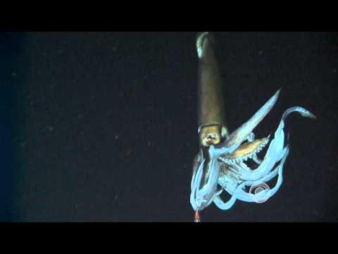 Scientists film giant squid in its natural habitat
