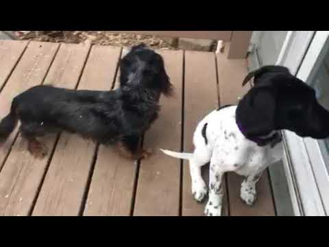 Dogs React To Tornado Siren Test (FUNNY)
