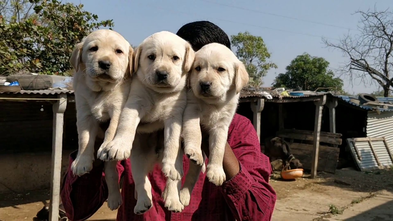 ARM DOG KENNEL : Full Heavy Bone Labrador Puppies Available For Sale  Contact 7775051999