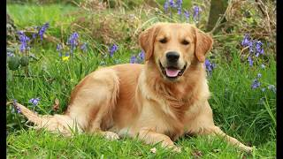 Золотистый ретривер (Golden Retriever) - порода собаки