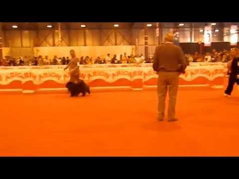 Chow Chows 1 - Madrid Intl. Dog Show 2015