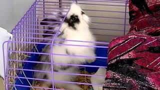 Декоративный кролик Юстас, его дом, кормёжка и характер.