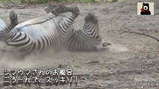 シマウマのお風呂 【アニマルテレビ】 ハートマンヤマシマウマが、ごろ...