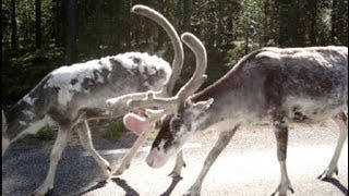Reindeers walking on road in northern Sweden