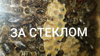 Пчёлы за стеклом
