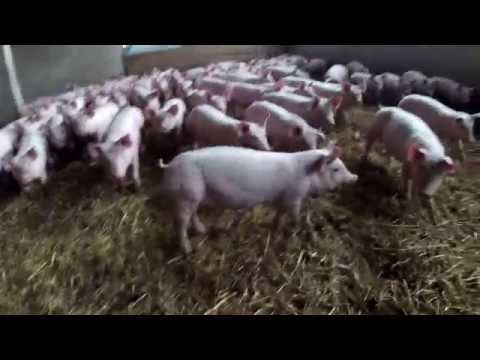Download Présentation de l'élevage porcin.
