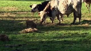 Un marcassin adopté par des vaches !