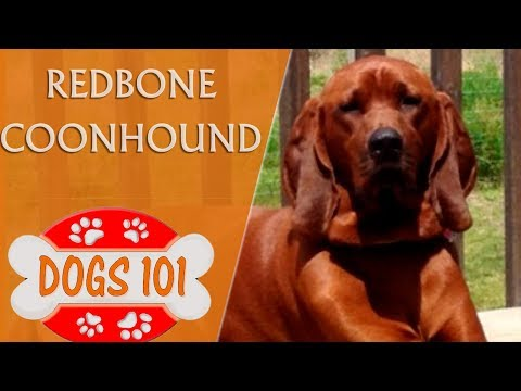 Dogs 101 - REDBONE COONHOUND - Top Dog Facts About the Redbone Coonhound