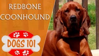Check out More at BrooklynsCorner.com Dogs 101 - REDBONE COONHOUND ...