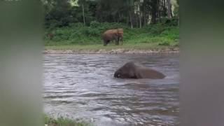 Слон бросился спасать тонущего человека