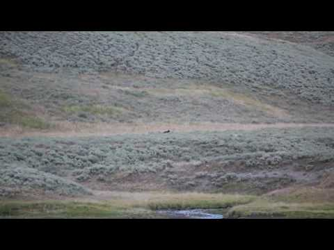 Gray Wolves Chase Off Bears at Yellowstone NP Aug 2016 - Hayden Valley - Fight For Food