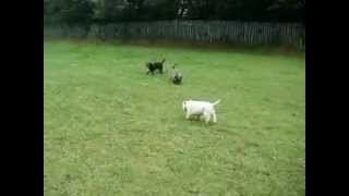 West Highland Terrier And Her Two Border Collie X Sons.
