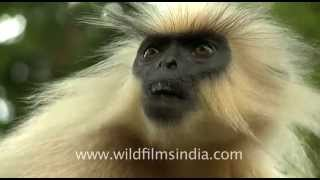 Golden langur (Trachypithecus geei) in Gibbon wildlife sanctuary