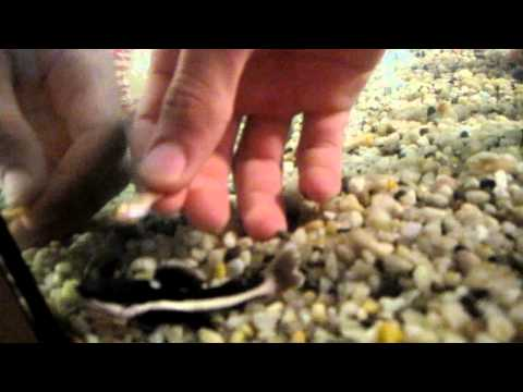 Feeding my baby red tail catfish RTC