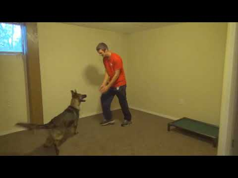 "Tricks W/German Shepherds ""Jarvis"" 6 Mo's Old Super Dog In Development"