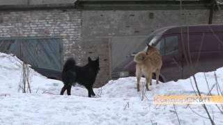 Отлов собак в Ковдоре